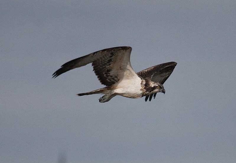Águila pescadora (S. Arroyo)