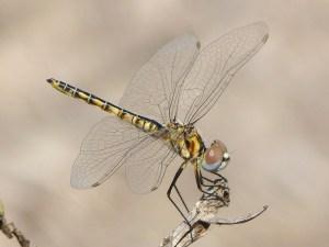 Selyiothemis nigra hembra, charca Ahsanse web