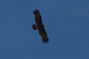 Águila moteada