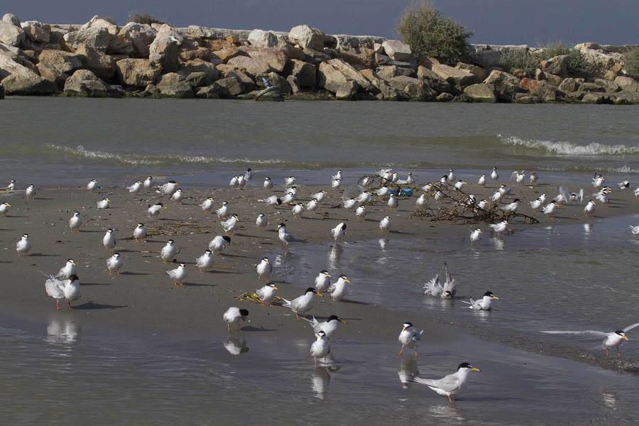 Bando de charrancitos posados en un banco de arena de la gola del Segura (S. Arroyo)