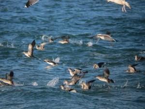 pardelas baleares en la bocana del puerto de Santa Pola (O. Aldeguer)