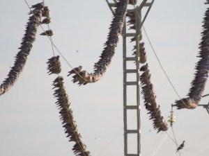 Bando de palomas torcaces en  Carrizales         (J. Marco)