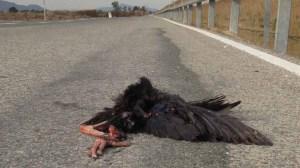 Calamón atropellado en la carretera de Vistabella (S. Arroyo)