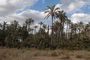 Huerto de la seca, uno de los palmerales del entorno del Hondo donde nidifica el agateador