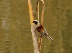 Pájaso moscón en la desembocadura del Segura (J. Ramos)