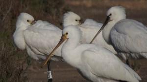 Grupo de espátulas en El Pinet (S. Arroyo)