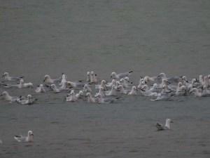 Bando de picofinas en la laguna de La Mata (S. Arroyo)