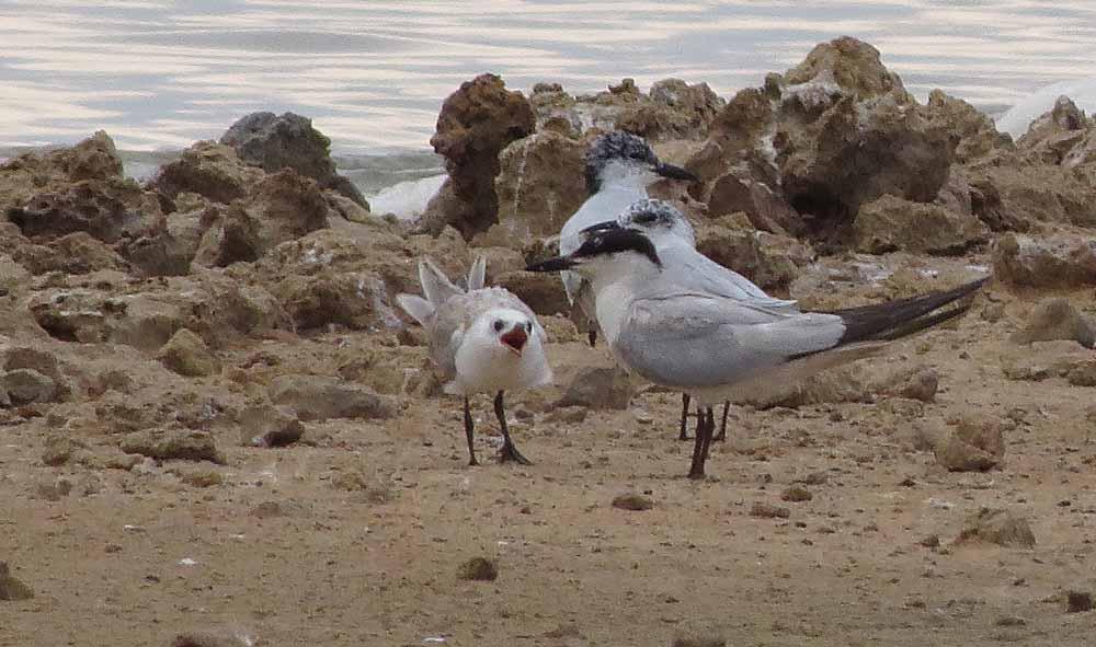 Pagazas piconegras con joven en la laguna de La Mata (S. Arroyo)