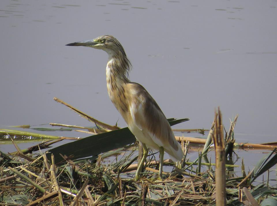 garcilla cangrejera en la desembocadura del Segura (J. Ramos)