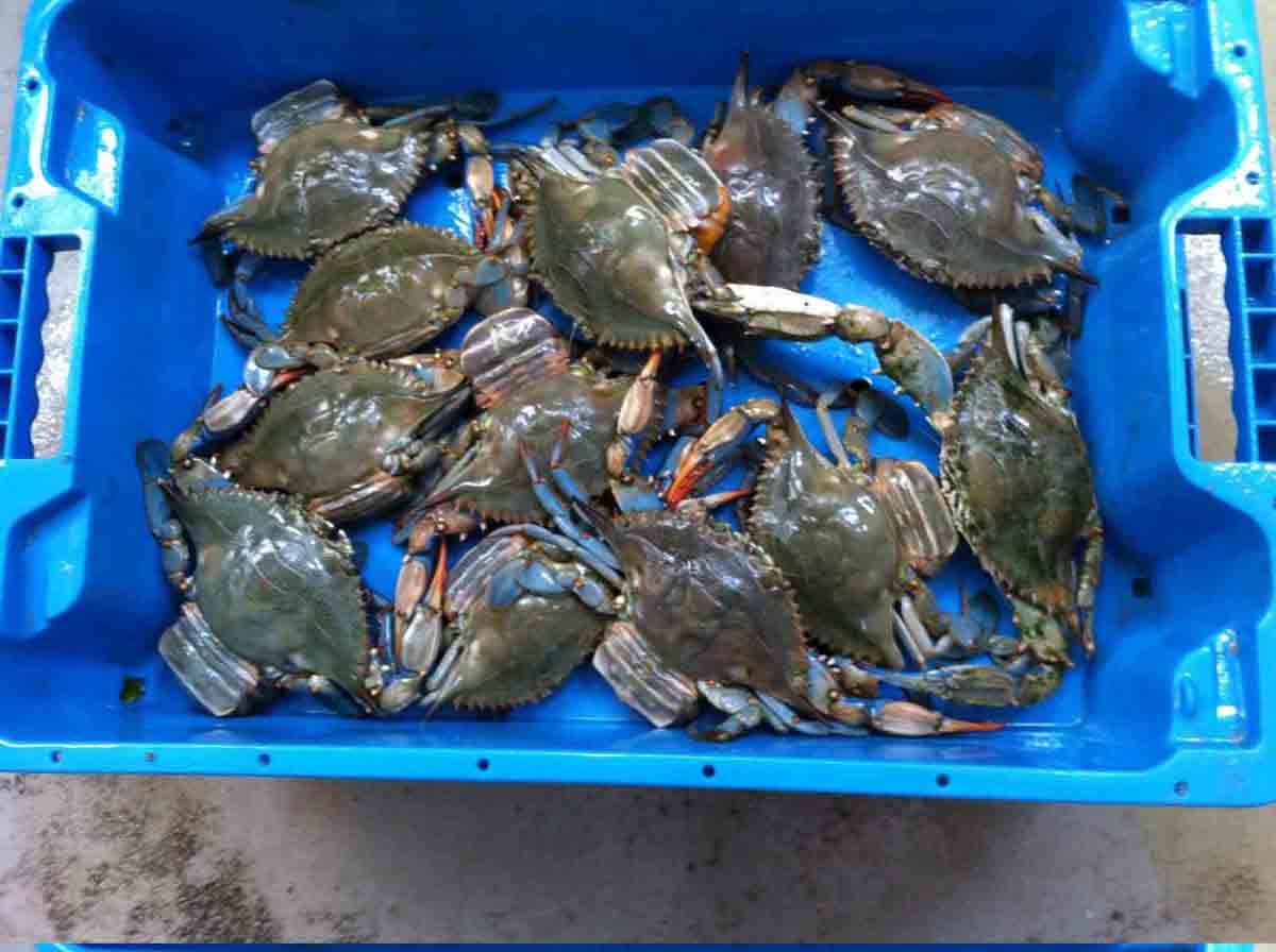 : Cajas comercializando pescado por parte de los trasmalleros que faenan en la desembocadura del río Segura en Guardamar (Foto: J.A. Pujol).