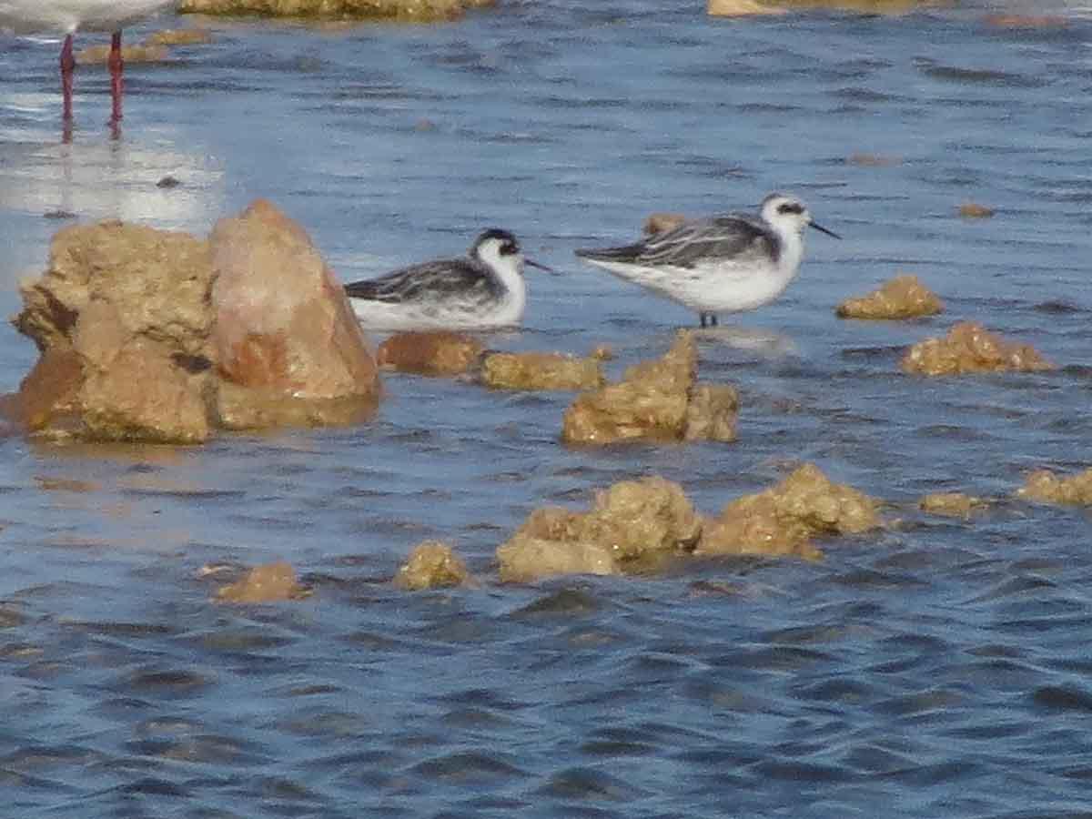 Falaropos picofinos en la laguna de La Mata (S. Arroyo)