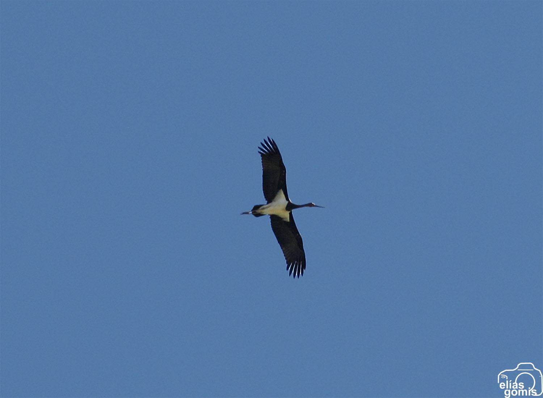 Cigüeña negra sobre El Hondo (E. Gomis)