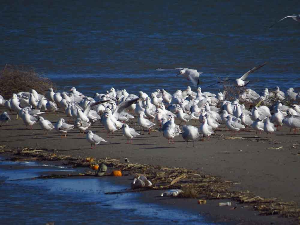 Gaviotas reidoras en la desembocadura del río Segura (O. Aldeguer)
