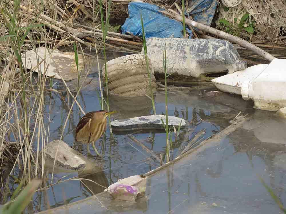 Avetorillo entre las basuras del río Segura