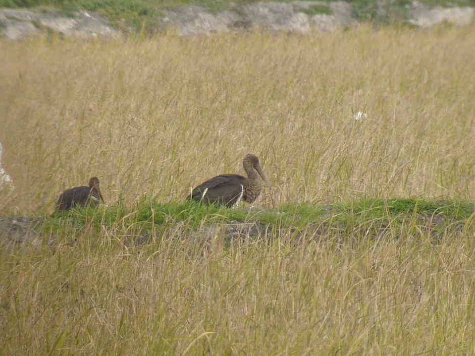 Cigüeñas negras en la Marjal de Pego (F. Picapinos)