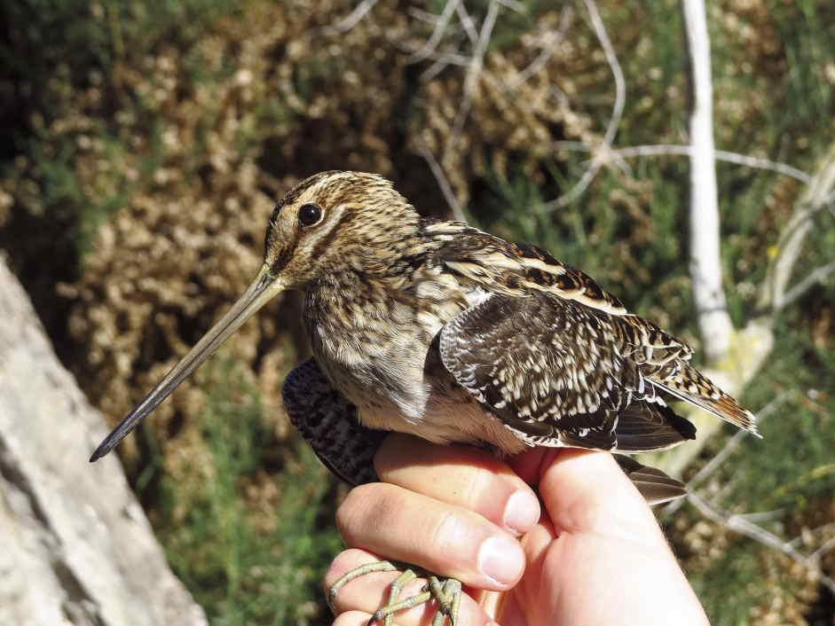 Agachadiza común en el Clot de Galvany (J. Marco)