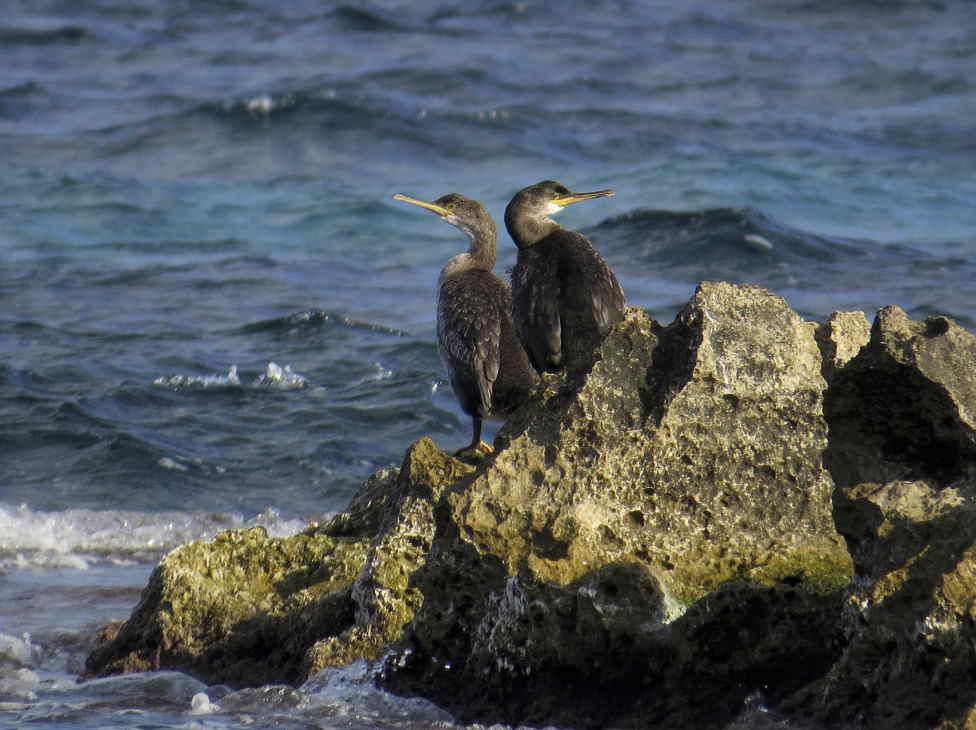 Cormoranes moñudos en el cabo huertas (J. Ramos)