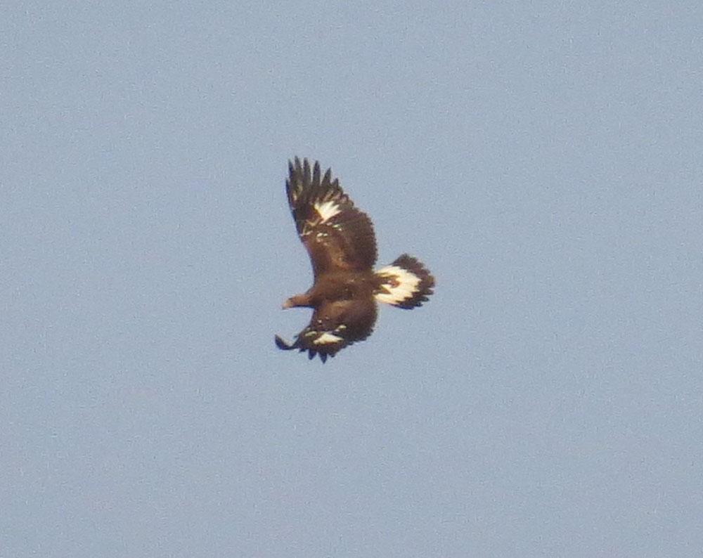 Águila real en el pantano de Elche (O. Aldeguer)