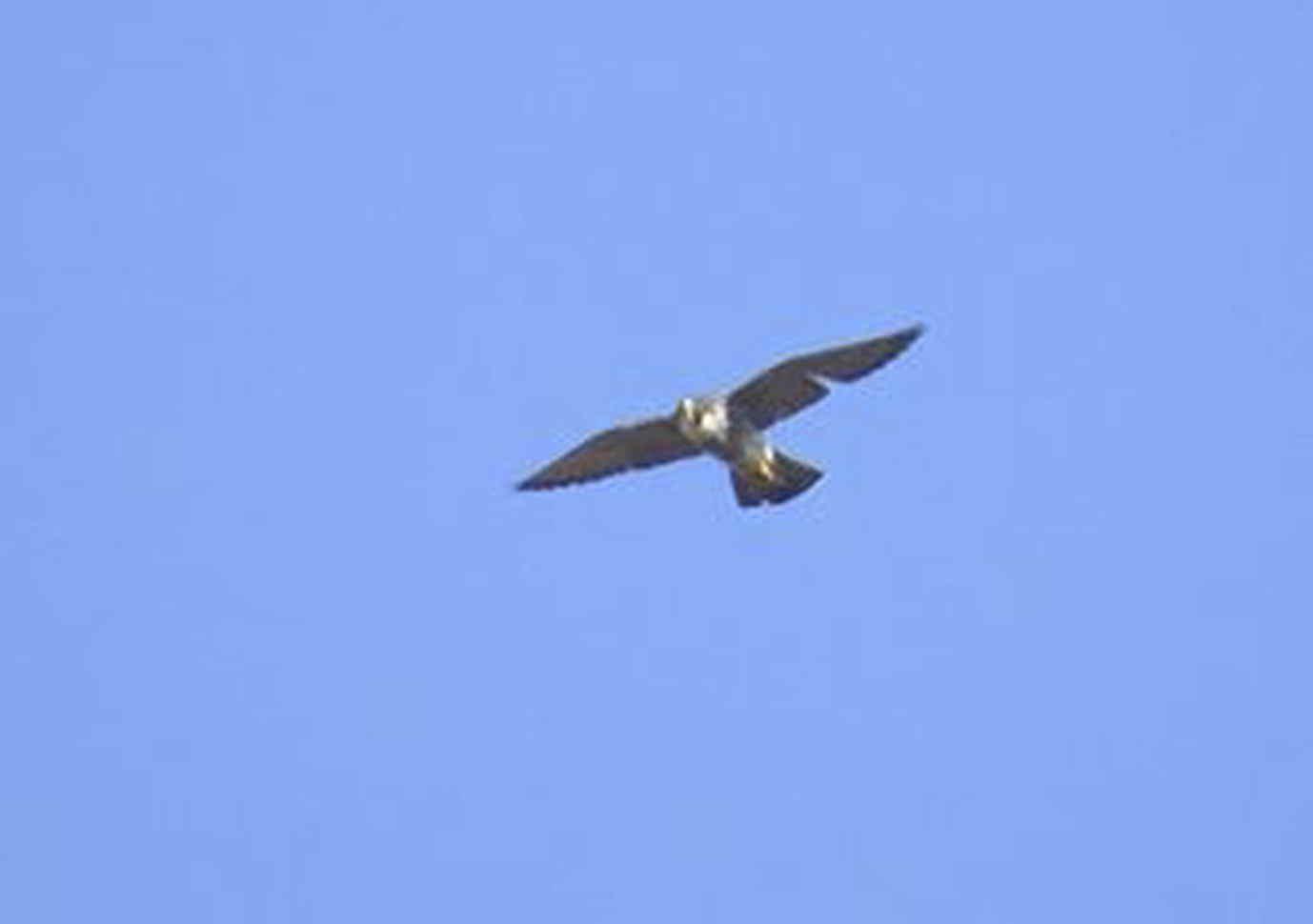 halcón peregrino en el pantano de Elche (O. Aldeguer)