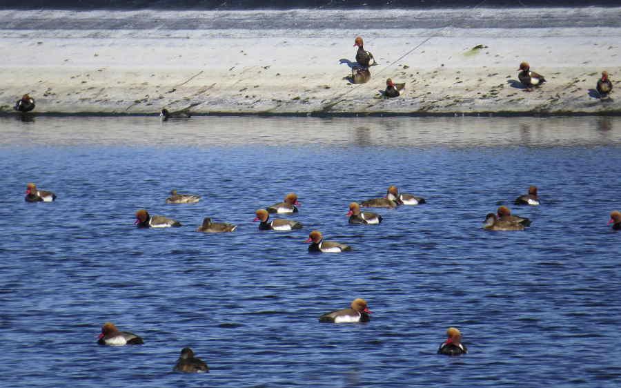 Patos colorados en la EDAR de Santa Pola (J. Ramos)