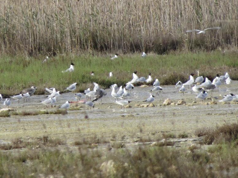 Gaviotas cabecinegras y reidoras en la laguna de Torrevieja (S. Arroyo)
