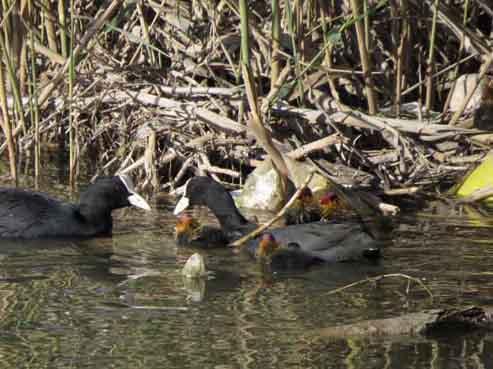 Pollada de focha en la desembocadura del Segura (S. Arroyo)