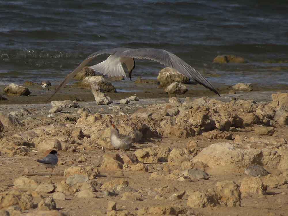 Pagaza piconegra con pollo en la laguna de La Mata (S. Arroyo)