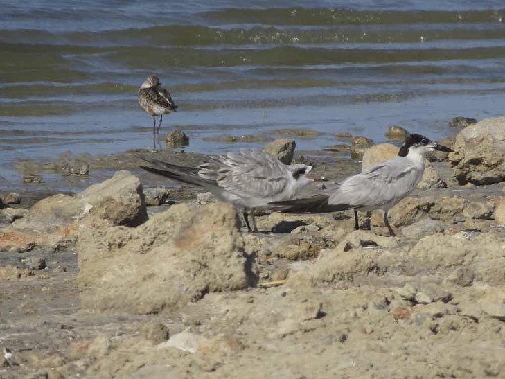 Pagazas piconegras en la laguna de La Mata (S. Arroyo)