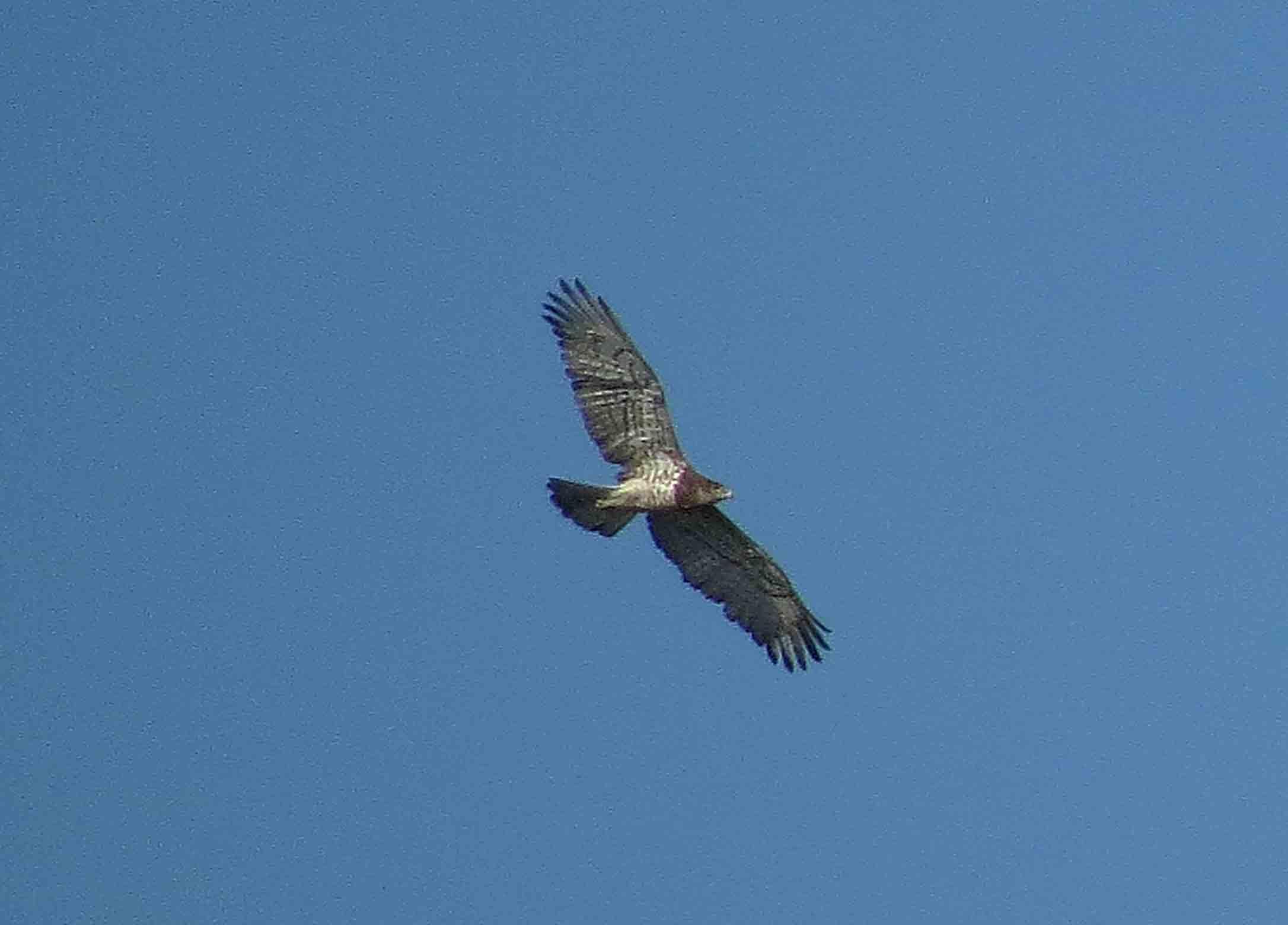 Águila culebrera en El Hondo (S. Arroyo)