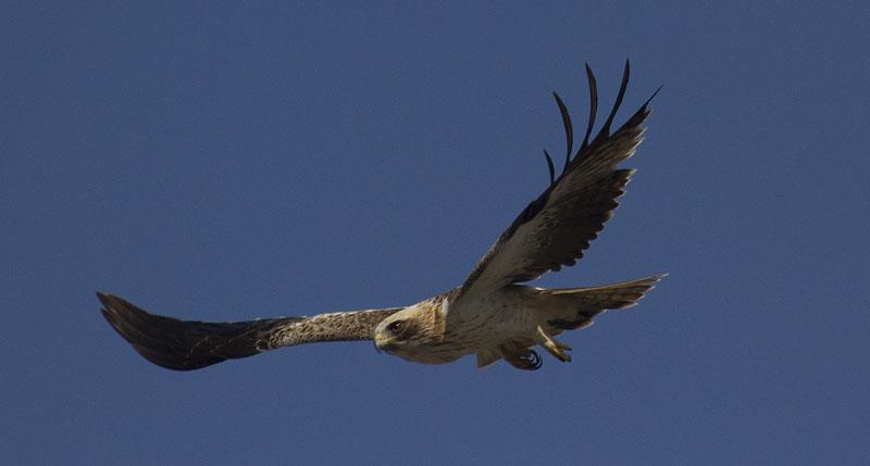 Águila calzada una de las rapaces que se verá beneficiada con el cese de la actividad cinegética (S. Arroyo)