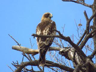 Águila calzada en las salinas de Santa Pola (O. Aldeguer)