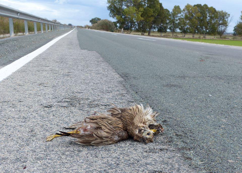 Alcaraván atropellado en la carretera de Vistabella (J. Ramos)