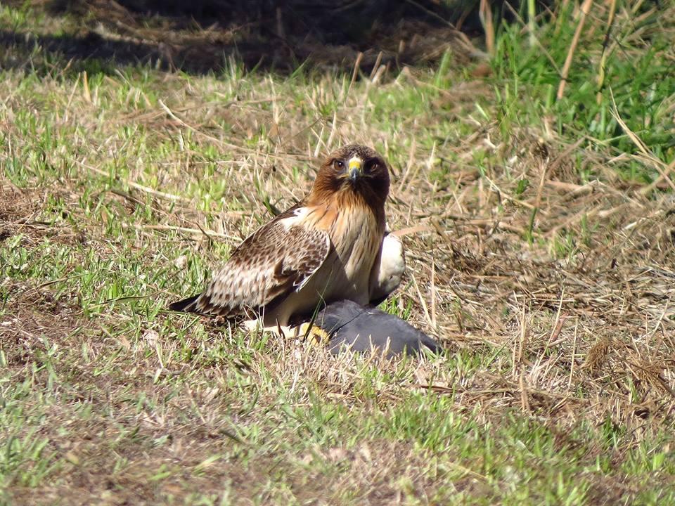 Águila calzada con una polla de agua en El Hondo(J. Marco)