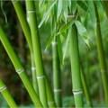 Bengal bamboo scientific name bambusa status endangered flowering non