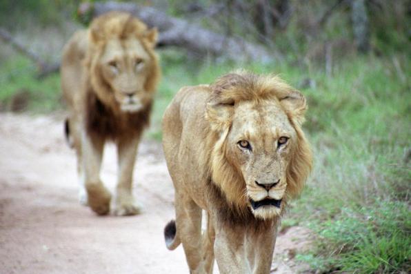 lions_cc3