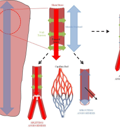 fig 2 schematic highlighting different mechanical stimuli that could be used to induce angiogenesis in [ 1210 x 1006 Pixel ]
