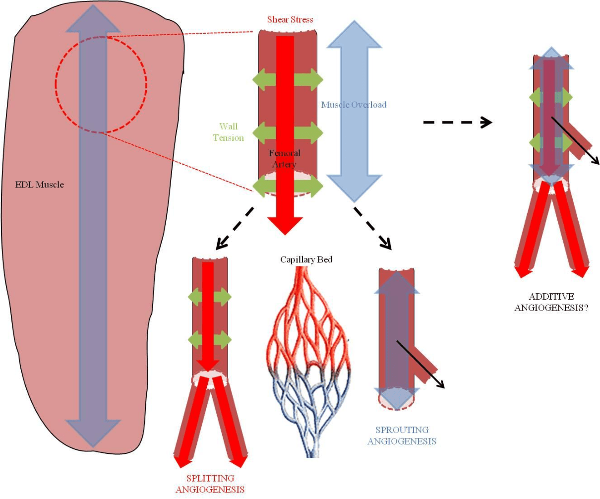 hight resolution of fig 2 schematic highlighting different mechanical stimuli that could be used to induce angiogenesis in