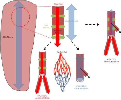 small resolution of fig 2 schematic highlighting different mechanical stimuli that could be used to induce angiogenesis in
