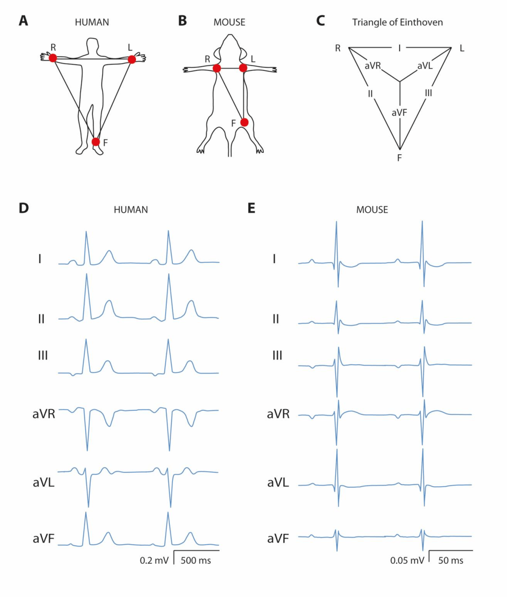 medium resolution of six lead ecg of a human and a mouse panel a and