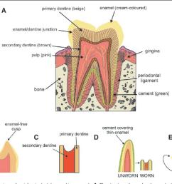 schematic views of variation in dental enamel in mammals a the [ 1340 x 926 Pixel ]
