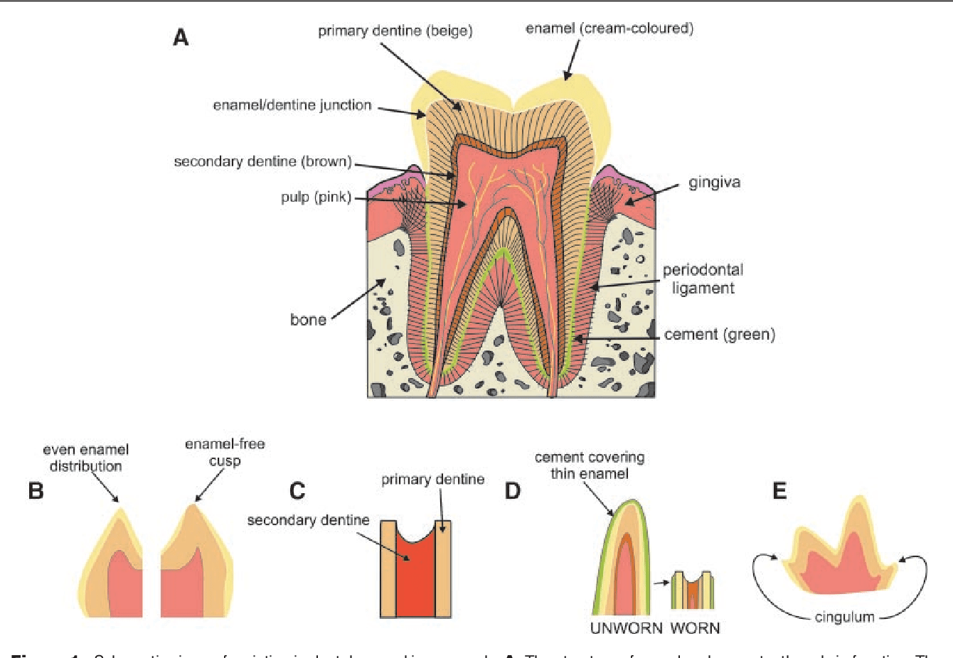 hight resolution of schematic views of variation in dental enamel in mammals a the