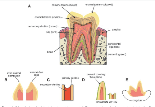 small resolution of schematic views of variation in dental enamel in mammals a the