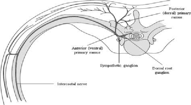 Figure 1 from Posterior Primary Rami Nerves Mimicking