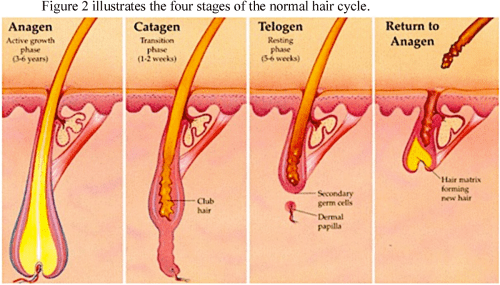 small resolution of figure 2 the stages of the normal hair cycle australian skin clinics
