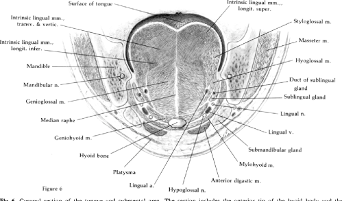 small resolution of fig 6 coronal section of the tongue and submental area the section includes