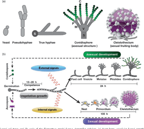 small resolution of fungal cell types and life cycle of the filamentous model fungus aspergillus