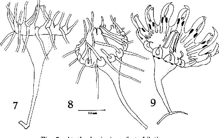 Figure 7 from On the Polyp of the Scyphomedusa, Sanderia