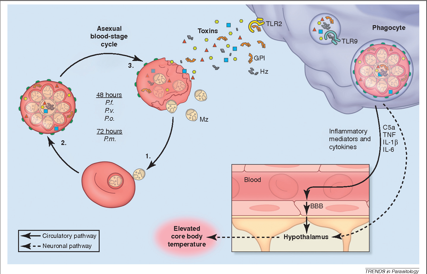 hight resolution of a schematic diagram showing a proposed mechanism of malaria fever induction cyclical