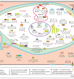 figure 3 a cartoon depicting the predicted or known subcellular localization of various proteins whose [ 1440 x 1200 Pixel ]