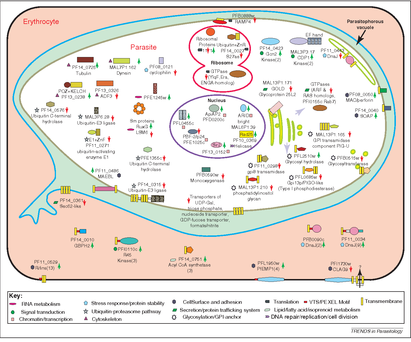 hight resolution of figure 3 a cartoon depicting the predicted or known subcellular localization of various proteins whose
